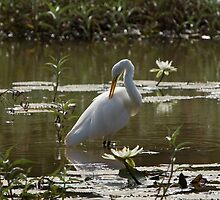 Great White Egret in Lily Pond by Sue Robinson