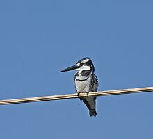 Pied Kingfisher by Sue Robinson