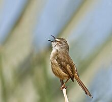 Tawny-flanked Prinia by Sue Robinson