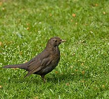 Common Blackbird female by Sue Robinson