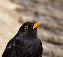 Common Blackbird Close-up by Sue Robinson