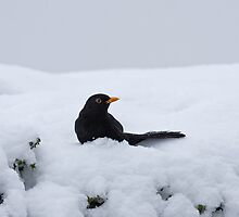 Blackbird in snow on hedge by Sue Robinson