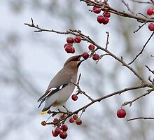 Bohemian Waxwing eating berry by Sue Robinson