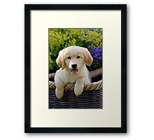 Charming Goldie Puppy Framed Print