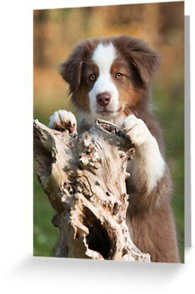 Curious Aussie Puppy by Katho Menden