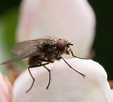 Fly Macro Shot by Sue Robinson