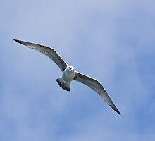 Herring Gull by Sue Robinson