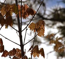 Spring Maples by Kathi Arnell