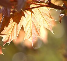 Maple Glow by Kathi Arnell