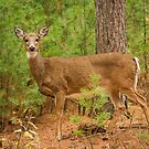 Deer At The Forest Edge by Thomas Young