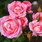 Belami Hybrid Tea Roses in DAP Whistler's Rainbow by Robert Armendariz