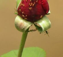 A Rose Bug by Cindy Hitch
