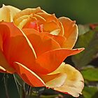Citrus Rose by photojeanic