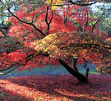 Autumn Blaze Westonbirt Arboretum by Cat Perkinton