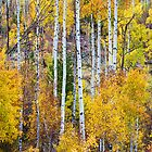 Aspen Tree Magic by Bo Insogna
