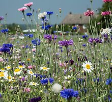 A field of cornflowers by Judi Lion
