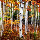 Acadia N.P.white birch trees by woodnimages