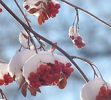Mountain Ash Berries After a Snowfall by jmc1313