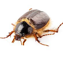 """Cockchafer or june beetle """"Amphimallon solstitialis"""" species isolated on white background by paulrommer"""