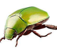 Green beetle species Anomala dimidiata isolated on white background by Pablo Romero
