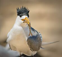 Crested tern with lunch by Jennie  Stock