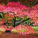 Red Acer by vivsworld