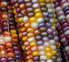 Variegated Indian Corn by Kenneth Keifer