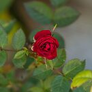 A Single Red Rose by Thomas Young