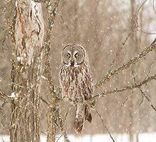 Great Grey Owls by Josef Pittner