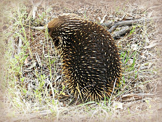 *Echidna* Werribee Open Range Zoo - Vic. by EdsMum