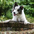 The Border Collies of the Dutch Border Collie forum (1) by Karen Havenaar