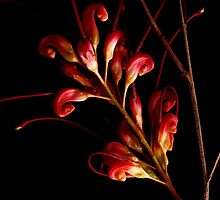 Tropical Flower Grevillea by Imi Koetz