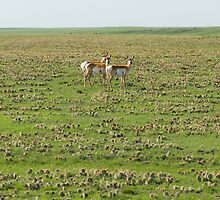 Antelopes at the Pawnee in Spring I by Camila Currea G.