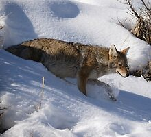 Winter Coyote in Northern Yellowstone by DWMMPhotography
