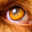Orange & White Italian Spinone eye by heidiannemorris
