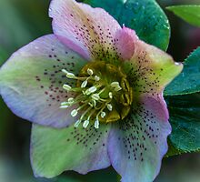 Hellebore. by Bette Devine