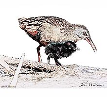 Virginia Rail and Chick by John Williams