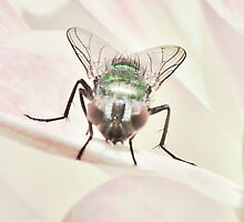 The Green Bottle Fly  by PictureNZ