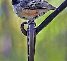 Chickadee by T.J. Martin
