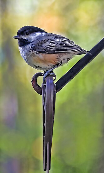 Chickadee by T.J. Martin
