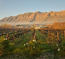 Montagu vineyard by Jennie  Stock