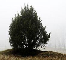3.11.2013: Juniper Tree II by Petri Volanen
