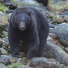 West Coast Black Bear  by j Kirk Photography                      Kirk Friederich