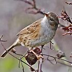 Dunnock on a Stick by WhyteAugust