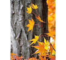 Autumn Maple Photographic Print
