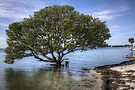 Mangrove Tree by njordphoto
