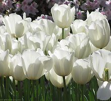 White Tulips, Simply Elegant by Maddy O'Brien