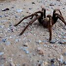 Tarantula a Creepin' by Kimberly Chadwick