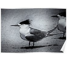 Monochrome crested tern Poster