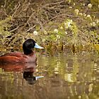 Blue-billed duck by Jennie  Stock